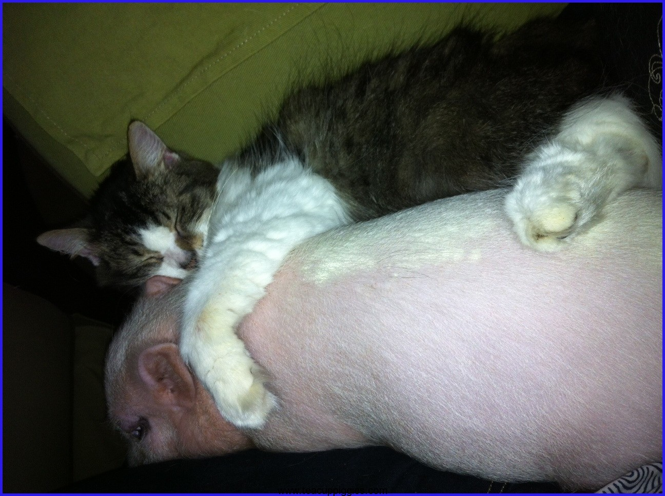 Adult mini potbelly pig - photo#18